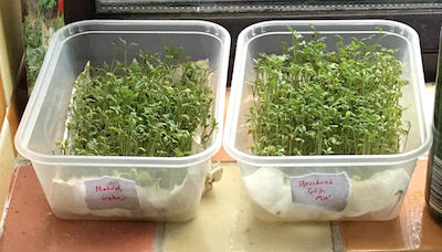 Cress experiment with structured water photo 2 (sml)