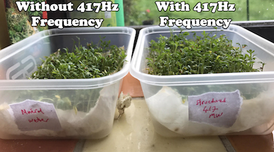 Experiment in growing cress using water programmed to 417Hz (small pic)